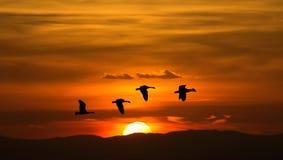 Migrazione della primavera o di autunno delle gru Fotografia Stock