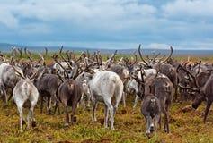 Migrazione della renna Fotografia Stock Libera da Diritti