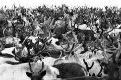 Migrazione della renna Immagine Stock