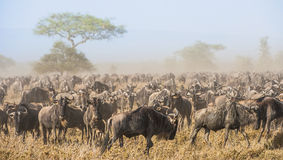 Migrazione dello gnu Il gregge delle antilopi di migrazione va sulla savanna polverosa Fotografia Stock Libera da Diritti