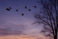 Migrazione di autunno o della primavera delle gru Fotografia Stock Libera da Diritti