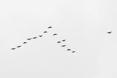 Migrazione di uccello fotografie stock