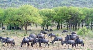Migrazione di Wildbeest in Serengeti fotografia stock