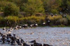 Migrazione di Wilderbeast, Kenya fotografia stock libera da diritti