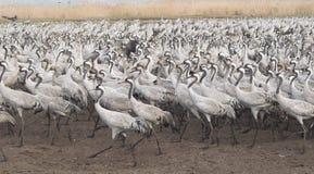 Migreer van vogels Stock Foto's