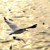 Migreer zeemeeuw in sunsets royalty-vrije stock afbeeldingen