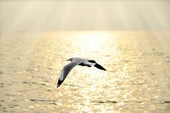 Migreer zeemeeuw in zonsondergang stock foto's
