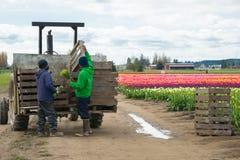 Migrerande arbetstagare som laddar blommor på traktorsläpet arkivfoto