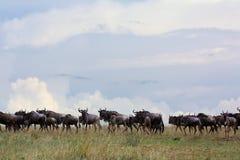 Migreren het meest wildebeest op de Afrikaanse savanne van het Oosten Stock Afbeeldingen