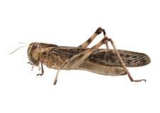 Migrerende sprinkhaan - (migratoria Locusta) Royalty-vrije Stock Afbeelding