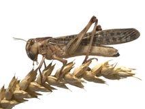 Migrerende sprinkhaan - (migratoria Locusta) Stock Foto's