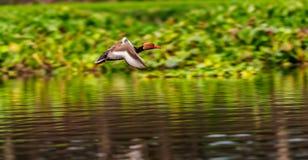 Migrerende Tafeleend met rode kuif, vogel, het Duiken eend, Stock Afbeeldingen