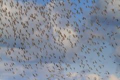 Migrerende troep van vogels in de hemel stock afbeeldingen