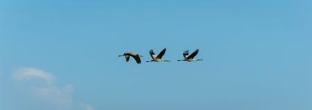 Migrerende vogels Stock Foto's