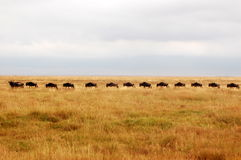 Migrieren wilderbeasts Lizenzfreie Stockfotografie
