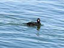 Migrować Czarnego Scoter w Barneget zatoce Zdjęcie Royalty Free