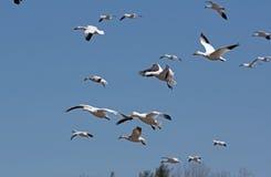 Migrowania Greating Śnieżny migrowanie Fotografia Royalty Free