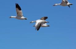 Migrowania Greating Śnieżny migrowanie Fotografia Stock