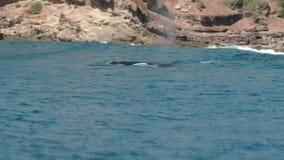 Migrowania humpback wieloryb sufacing dla powietrza przy merimbula zbiory