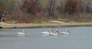 Migrowanie Ameryka?scy biali pelikany w Czere?niowym zatoczka stanu parku, Denver, Kolorado zdjęcia stock