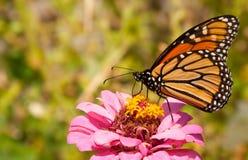 migrowanie motyli monarcha Obrazy Royalty Free