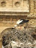 miguel san storks Arkivfoto