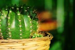 Mihanovichii del Gymnocalycium L'hobby che fa il giardinaggio con molti del cactus del germoglio nel giardino della scuola matern Fotografie Stock Libere da Diritti