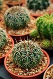 Mihanovichii del Gymnocalycium L'hobby che fa il giardinaggio con molti del cactus del germoglio nel giardino della scuola matern Fotografie Stock