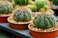 Mihanovichii del Gymnocalycium L'hobby che fa il giardinaggio con molti del cactus del germoglio nel giardino della scuola matern Immagini Stock