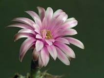 Mihanovichii floreciente de Gymnocalicium del cacto. Fotografía de archivo libre de regalías