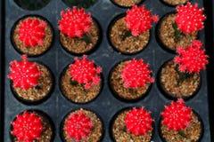 Mihanovichii rosso del gymnocalycium L'hobby che fa il giardinaggio con molti del cactus del germoglio nel giardino della scuola  Immagine Stock
