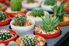 mihanovichii viola del Gymnocalycium L'hobby che fa il giardinaggio con molti del cactus del germoglio nel giardino della scuola  Immagini Stock