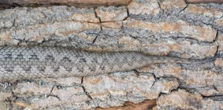 Żmija wąż, Vipera latastei Zdjęcia Stock