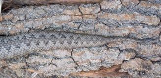 Żmija wąż, Vipera latastei Fotografia Stock