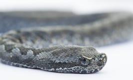 Żmija węża dziecko, Vipera latastei Obraz Royalty Free