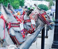 Mijas taxi donkeys. Working donkeys at the taxi rank in Mijas, Spain, a famous visitor attraction Royalty Free Stock Image