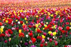 Mijlen Tulpen in volledige bloei Stock Fotografie