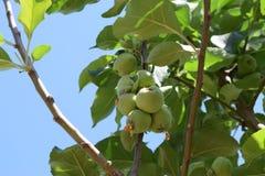 Mijn appelen! Royalty-vrije Stock Foto