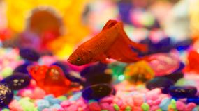 Mijn Beta Fish Stock Afbeelding
