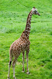 In mijn binnenplaats gearticuleerde giraf Royalty-vrije Stock Foto's