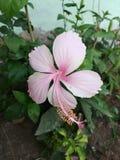 Mijn bloem het ontzagwekkende kijken als pink stock afbeelding