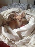 Mijn 2 chihuahuas Royalty-vrije Stock Foto's