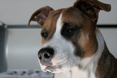 Mijn hond Amerikaanse staffordshire terriër Luna Royalty-vrije Stock Foto's