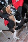 Mijn Hond (Deagle) is zeer leuk en ongehoorzaam Royalty-vrije Stock Foto's