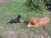 Mijn honden het spelen Royalty-vrije Stock Foto's