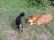 Mijn honden het spelen Stock Fotografie