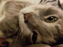 Mijn kat Shiroh Stock Afbeelding