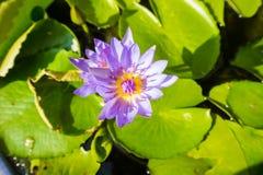 Mijn lotusbloem Royalty-vrije Stock Afbeeldingen
