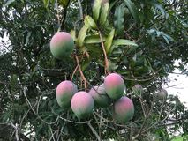 Mijn Mango's Stock Fotografie