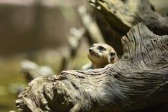 Mijn Meerkat royalty-vrije stock foto